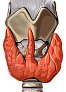 La glándula tiroides es la principal controladora del metabolismo