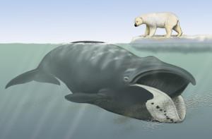 ballena-oso-polar