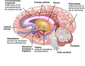 corte-cerebro