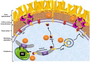 Las grasas conocidas como estructurales son fundamentales en las membranas celulares de nuestro cuerpo y juegan un papel indispensable en el funcionamiento de todo el organismo.