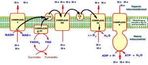 cadena respiratoria mitocondrial