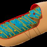 La mitocondria es la verdadera batería celular. En ella se llevan a cabo los principales procesos energéticos celulares y allí es donde hace su efecto lo riboflavina
