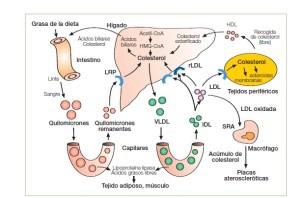El colesterol es una sustancia indispensable en el organismo donde tiene muchas funciones incluyendo algunas relacionadas con la conservación de la masa muscular
