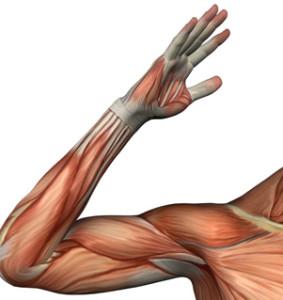 El cuerpo tiene más de 600 músculos y para mantenerlos es necesario ejercitarlos diariamente