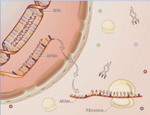 La produccion o sintesis de proteína en las células ocurre por medio de organelas que van formando la secuencia de aminoácidos de acuerdo a un patrón incluido en el ARN celular