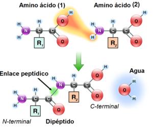 enlace-peptidico